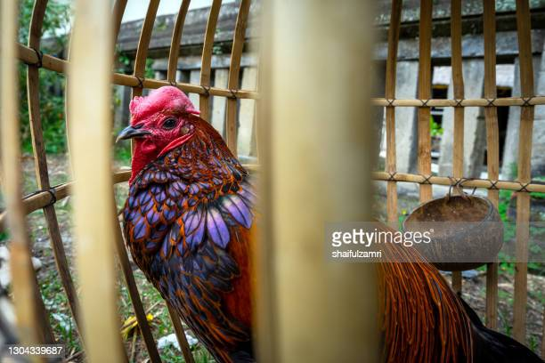 caged rooster ready to sell at street market in bali, indonesia. - shaifulzamri imagens e fotografias de stock