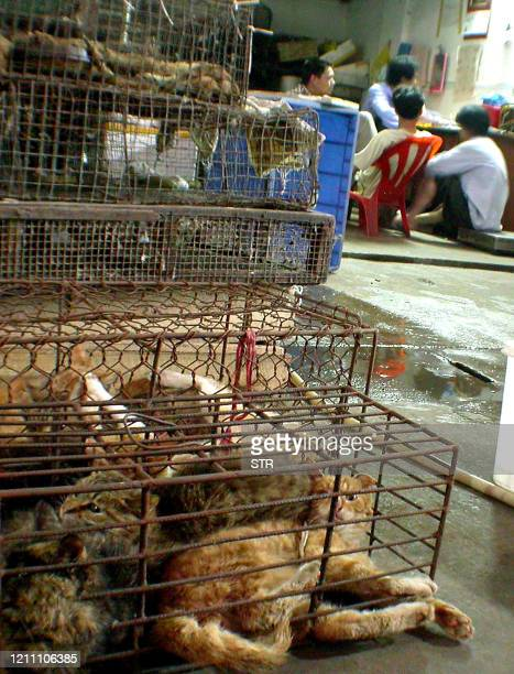 A cageful of cats rest outside a shop at the Hua Nan Wild Animal Market in Guangzhou southern China's Guangdong province 23 May 2003 Civet cats now...