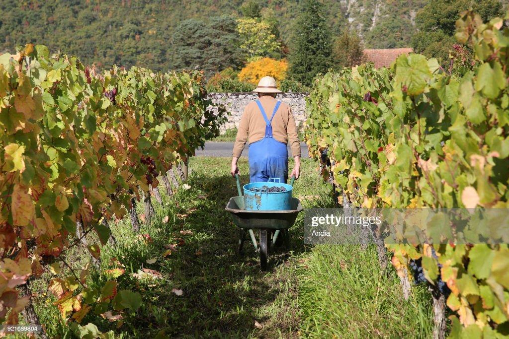 Cahors vineyard in the Lot department (south-western France): man viewed from behind pulling a wheelbarrow between rows of vines.