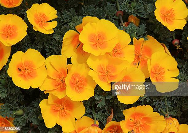 caifornia golden poppies bloom in spring - california golden poppy stock pictures, royalty-free photos & images
