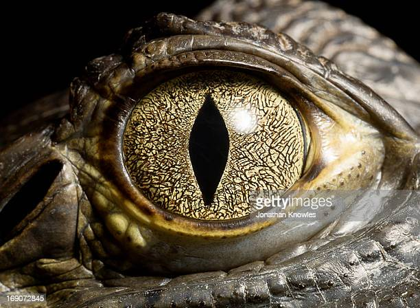 caiman crocodile's eye, close up - animal eye stock pictures, royalty-free photos & images