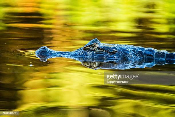 caiman in pantanal brazil - pantanal stockfoto's en -beelden