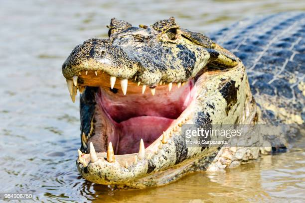 A caiman in the Cuiaba river, Brazil.