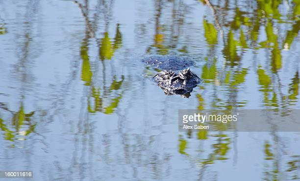 a caiman in the pantanal wetlands. - alex saberi photos et images de collection