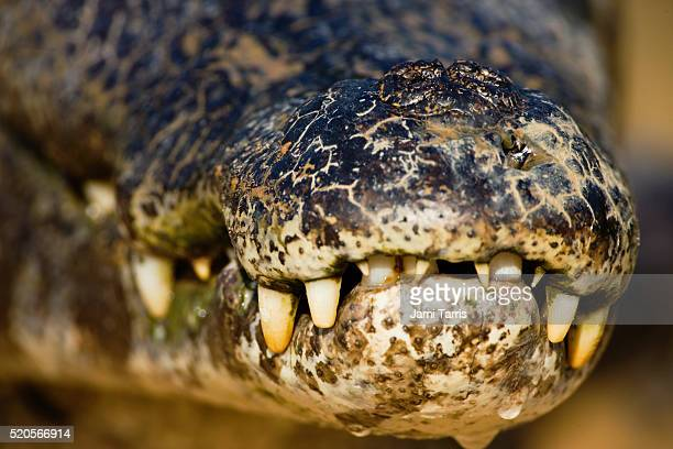 caiman sunning itself on the cuiaba river - cuiaba river stock photos and pictures