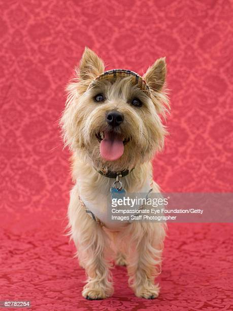 """cairin terrier - """"compassionate eye"""" foto e immagini stock"""