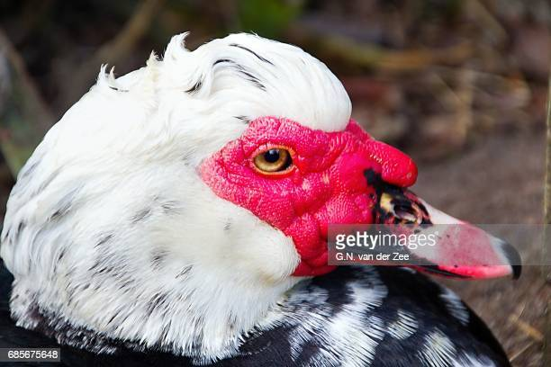 cairina moschata barbarie eend muskuseend - muscovy duck stock pictures, royalty-free photos & images