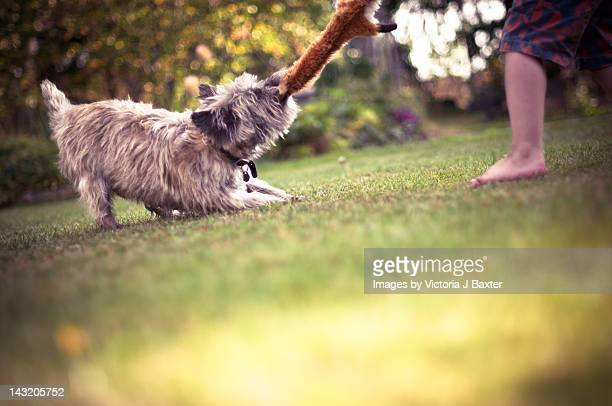 cairn terrier playing game of tug - dogs tug of war stock pictures, royalty-free photos & images