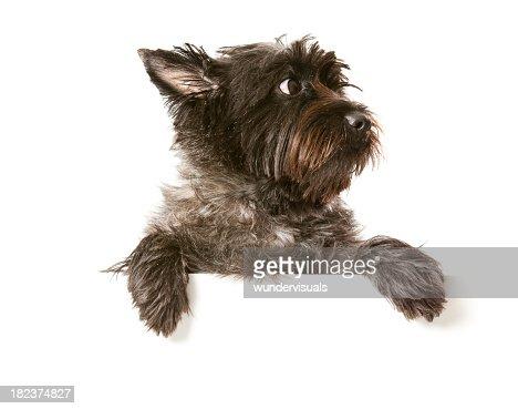 Cairn Terrier Preto Impressão De Parede No.405 Dicionário De Arte Decoração Parede Banheiro engraçado
