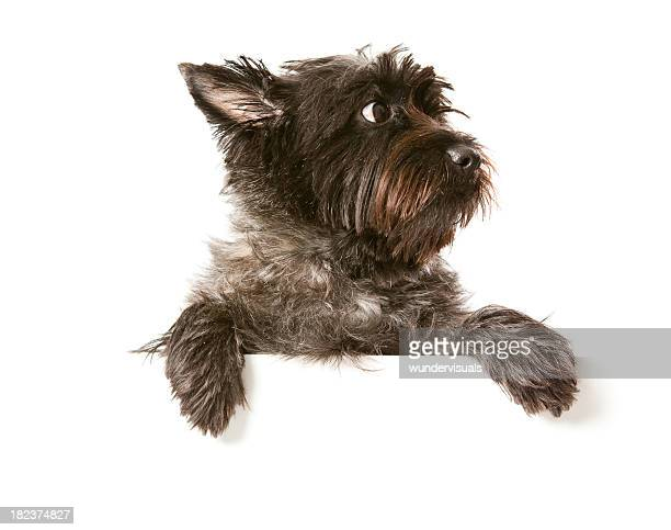 248 Cairn Terrier Photos And Premium High Res Pictures Getty Images