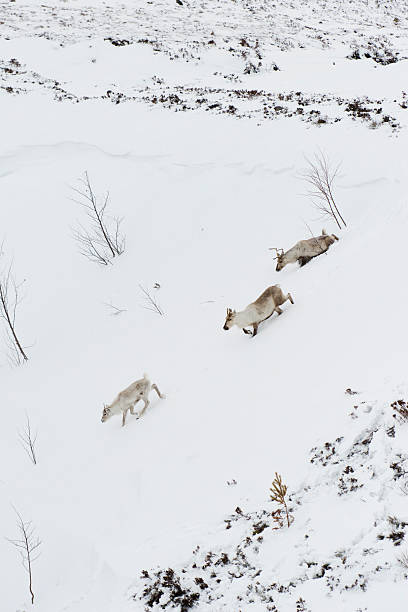Cairngorm Reindeer In Snow Wall Art