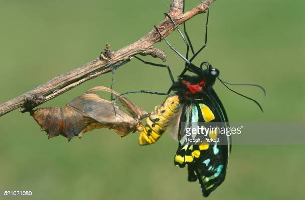 cairns birdwing butterfly emerging from cocoon - appearance stock pictures, royalty-free photos & images
