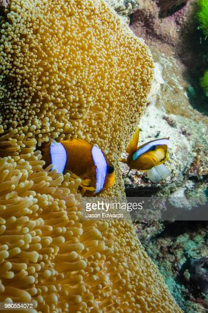 a pair of orange-finned anemone fish defending their anemone. - orange fin clownfish stock photos and pictures