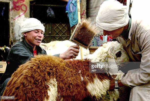 Two Egyptian boys brush their sheep before selling it to a client ahead of the ucoming Eid al-Adha at the el-Basatein market, which specializes in...
