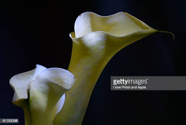 Cala flower