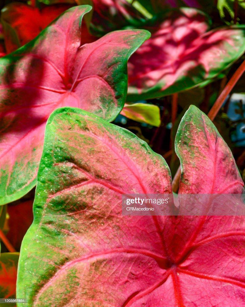 Caladium bicolor. : Stock Photo