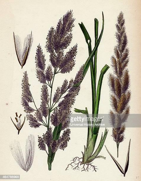 Calamagrostis Epigejos Wood Smallreed