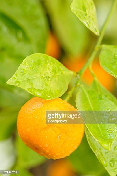 Calamondin Citrus madurensis Fruit growing with leaves covered in raindrops