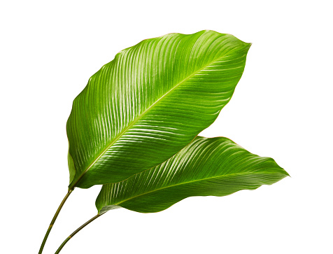 Calathea foliage, Exotic tropical leaf, Large green leaf, isolated on white background with clipping path 1180581523