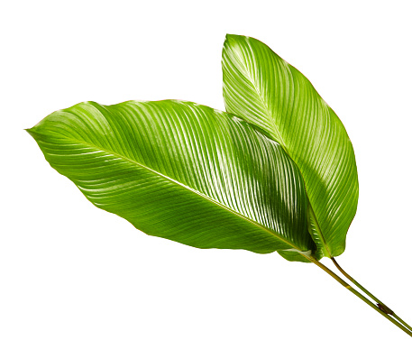 Calathea foliage, Exotic tropical leaf, Large green leaf, isolated on white background with clipping path 931586872