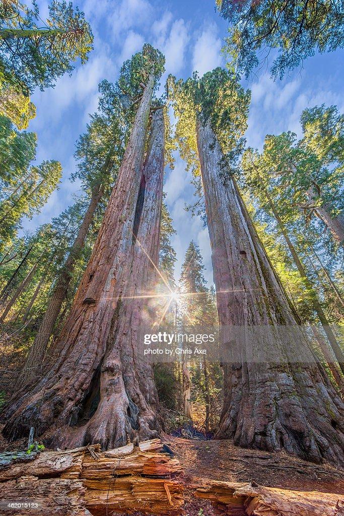 Calaveras Big Trees State Park : Stock Photo