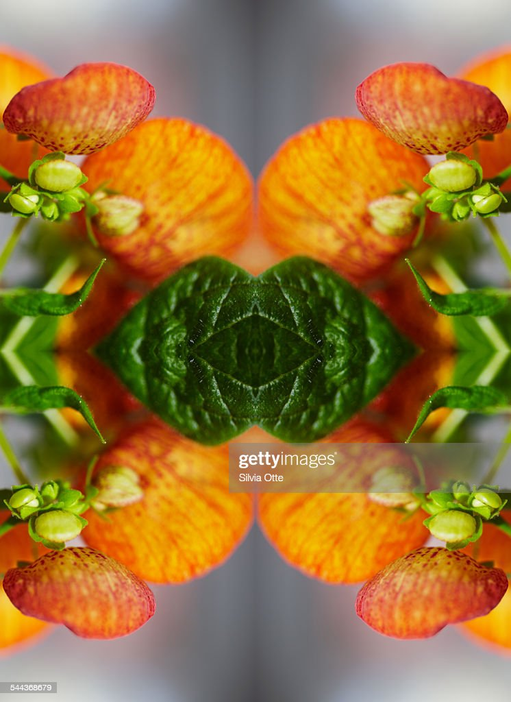 Calceolaria flower close-up : Stock Photo