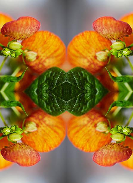 Calceolaria flower close-up