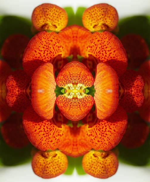 Calceolaria flower
