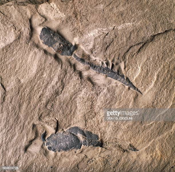 Calcichordate fossils Calcichordata Middle Cambrian