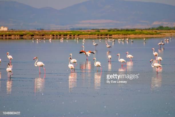 calderon lagoon & flamingos - laguna foto e immagini stock