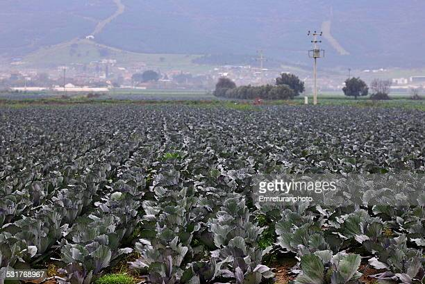 cale (black cabbage) plantation in turkey - emreturanphoto stock pictures, royalty-free photos & images