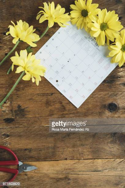 Calendar sheet, yellow daisies, and gardenig scissors on old wooden background with copy space. Directly above