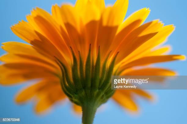 Calendula Flower-Calendula offcinalis