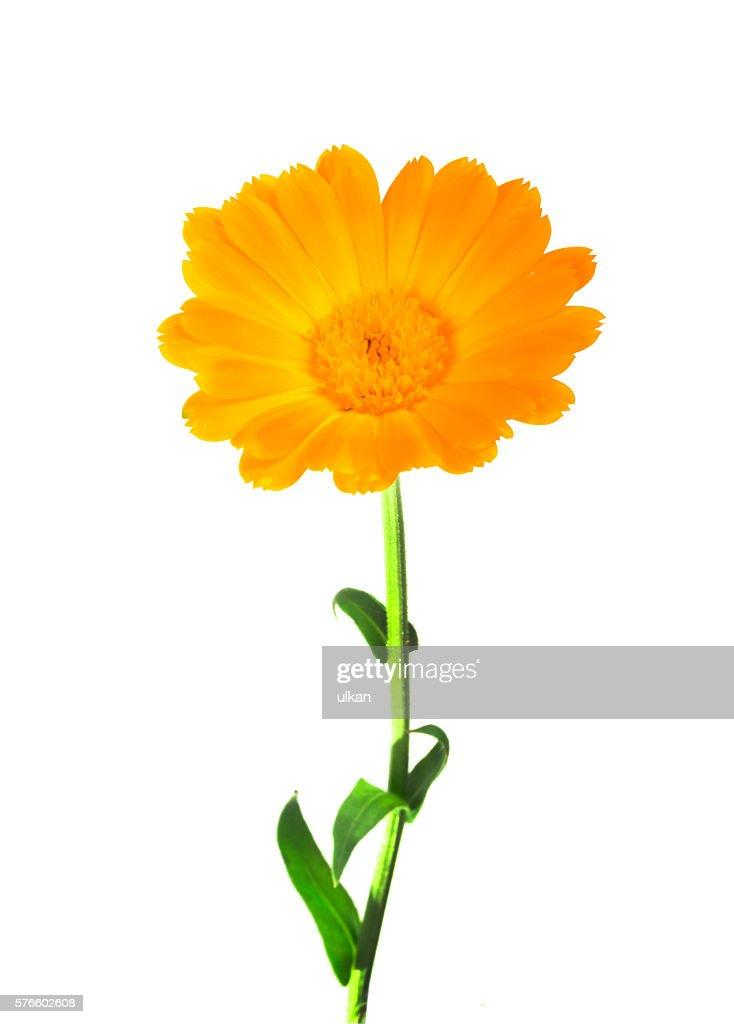 Calendula marigold flowers with leaves isolated on white stock photo marigold flowers with leaves isolated on white stock photo mightylinksfo