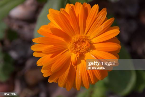 calendula officinalis flower - pot marigold stock pictures, royalty-free photos & images
