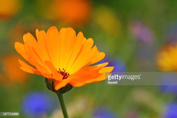 calendula officinalis - pot marigold stock pictures, royalty-free photos & images
