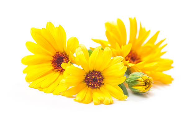 Free yellow flower white background images pictures and royalty frame made of various yellow flowers on white background calendula officinalis mightylinksfo