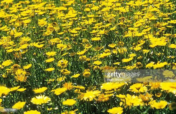 Calendula officinalis (Pot Marigold)