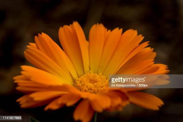 calendula - pot marigold stock pictures, royalty-free photos & images