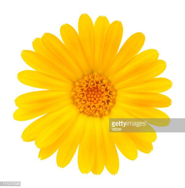 calendula - yellow stock pictures, royalty-free photos & images