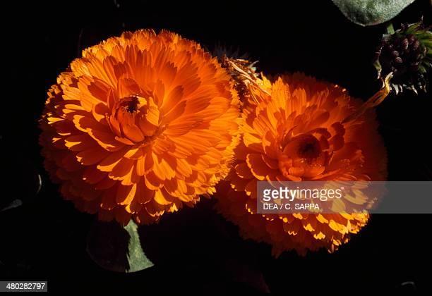 Calendula Sp Asteraceae