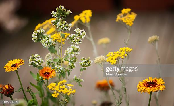 Calendula, tansy, thyme flowers