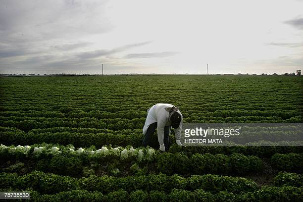"""Calexico, UNITED STATES: TO GO WITH STORY """"US-FARM-POLITICS-TRADE"""" In this file 09 March 2006 photo, a farm worker harvests lettuce in a farm field..."""