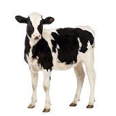 Calf, 8 months old, looking at the camera