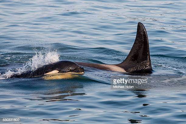 A calf and adult killer whale (Orcinus orca) surfacing in Glacier Bay National Park, Southeast Alaska, United States of America, North America