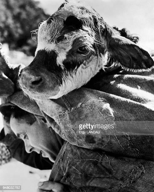 A calf carried on a man's back Transport d'un veau à dos d'homme