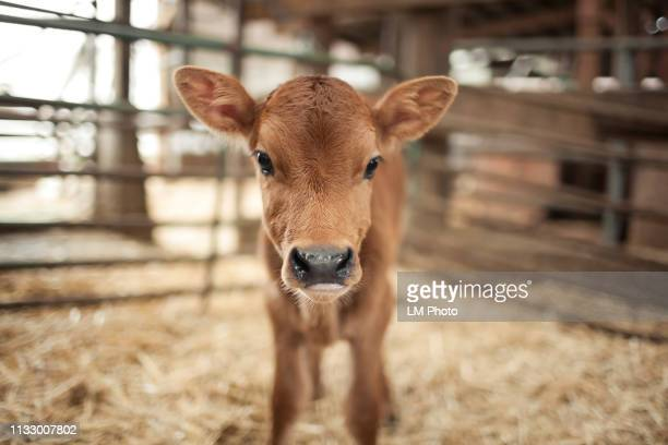 calf in a barn - young animal stock pictures, royalty-free photos & images
