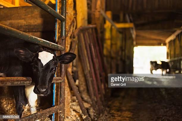 Calf in barn