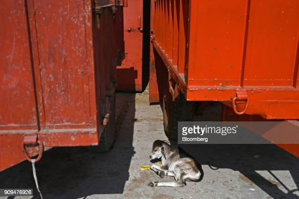 A calf lies under a tractor trolley at the Sri Krishna Gaushala on the outskirts of New Delhi India on Sunday Jan 21 2018 The nursing home offers...