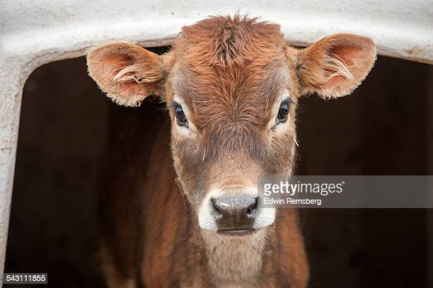 Calf looking out of pen